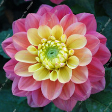 New True 24 Kinds Of Dahlia Flower Bulbs Beautiful Very Easy Grow Home Garden Supplies Indoor Bonsai 1 Pcs/bag Best Selling