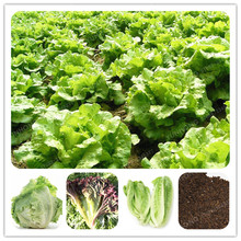 100 Pcs Lettuce Seeds Good Taste Easy To Grow Great Salad Dhoice DIY Home Garden Seeds Vegetables Rich Vitamins Chinese Leaves(China)