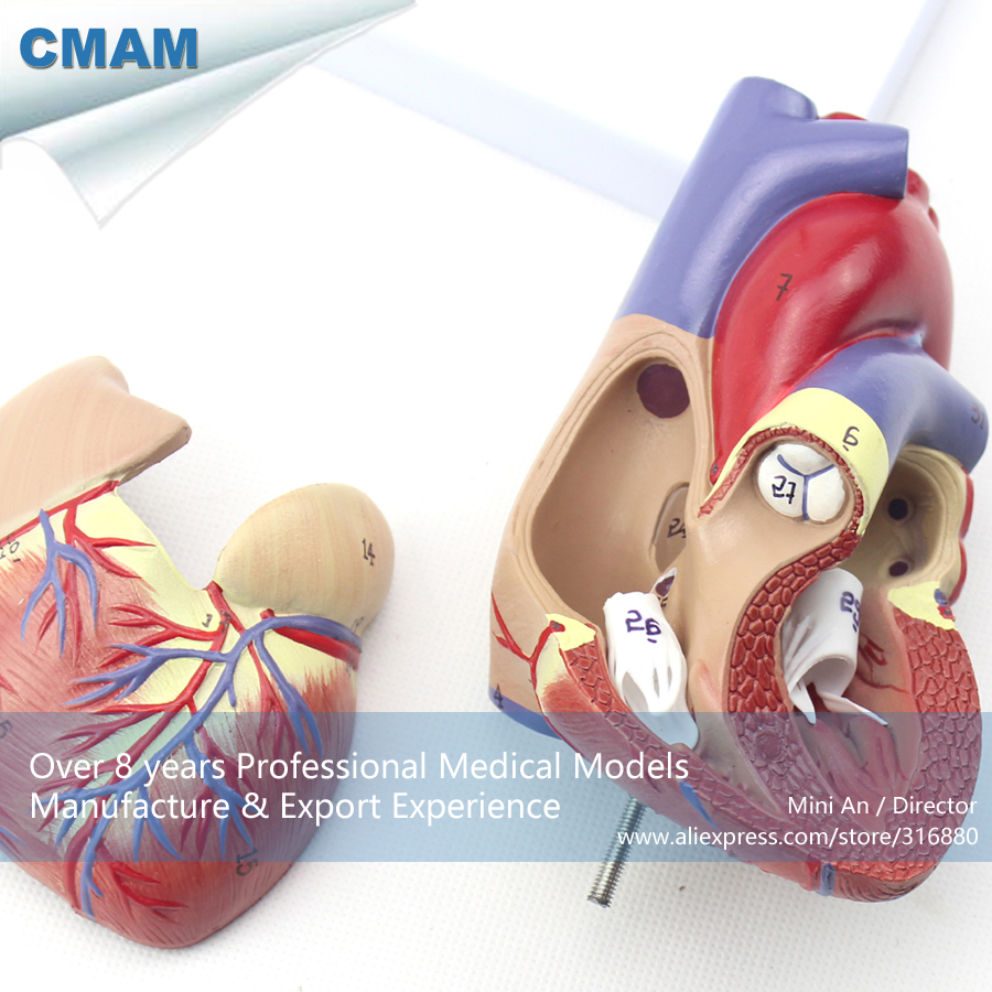 12479 CMAM-HEART03 Life Size Human Heart Model - 2 Parts, Magnetically Connect, Medical Science Teaching Anatomical Models<br>