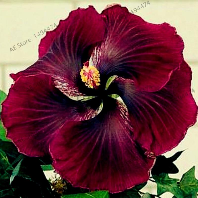 Aliexpress.com : Buy 100pcs/bag24 colors giant hibiscus seeds ...