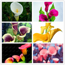 2017 Calla lily bulbs (not calla lily seeds), potted balcony,Calla lily can radiation absorption, mixed colors - 1 seed/package