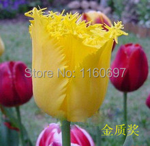 Free shipping yellow 5blubs/lot  flower bulbs tulip bulbs sementes de flores casa e jardim bonsai tree home decoration with gift