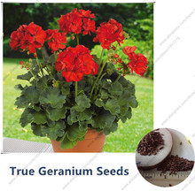 10 Pcs/Bag100%True Geranium Seeds Potted Balcony Planting Seasons Red Pelargonium Potted Flower Seeds for Indoor Bonsai(PEL03#)