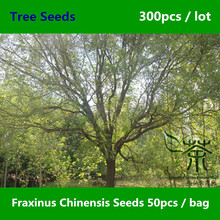 Beautifying Fraxinus Chinensis Seeds 300pcs, Flowering Plant Chinese Ash Seeds, Ornamental Plant Bai La Shu Deciduous Tree Seeds