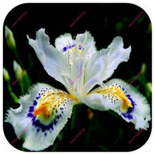100pcs Iris orchid seeds,Plant bonsai butterfly iris seed,flower seeds perennial,plant for home garden(China)