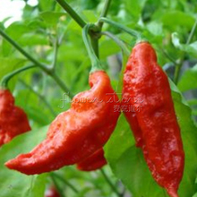 20 NON GMO Plants Bhut Jolokia Pepper Seeds Extremely Spicy