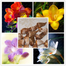 1 Bulbs Freesia Flower Bonsai Bulbs, mixed Yellow White Purple Orange colors(It is genuine bulbs), Decoration home and garden