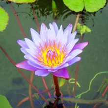 1 Professional Pack, 1 seeds / pack, Blue Lotus Flowers Nymphaea Caerulea Asian Water Lily Pad Flower Pond Seeds #A00147