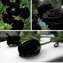 China Rare Black Rose Flower Seeds 200 high quality easy to plant seeds home garden Semillas Amazingly Beautiful