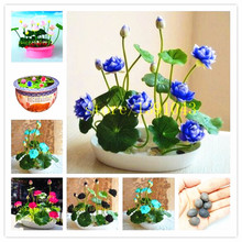 lotus seeds, lotus water lily seeds, water lily flower, 5 particle / pack Bowl lotus Aquatic Plants for home decoration