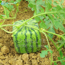 30pcs Seeds Rare Simple Geometric Square Watermelons Seeds Delicious Chinese Fruit Water Melon Seeds