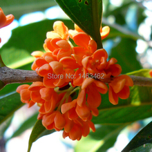 10PCS / bag orange Osmanthus fragrans seeds, flower seeds for DIY home garden Free shipping