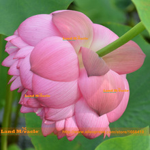 Double Pink Red Lotus Seeds, 1 Seeds/pack, Water Lily Pad Nymphaea Nelumbo Nucifera Pond Plant Flower