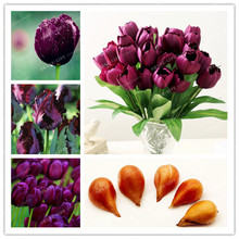 5pcs Bulbs True Purple Tulip Bulbs (Not Tulip Seeds),Tulips Variety Fresh Bulbous Root Flowers Planted flower bulbs good quality