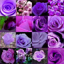 Big Sale!10 Pcs/Pack cheap rare burpee perfume Colors Purple Rose Seed flower seeds home gardening Outdoor plants garden,#BP5A5F