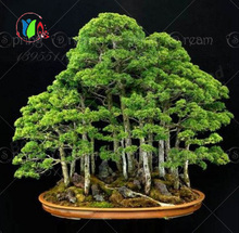 50pcs juniper bonsai tree seeds potted flowers office bonsai purify the air absorb harmful gases free shipping(China)