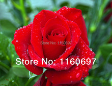 flower pots planters Flower Seeds Red Rose seeds sementes de flores 200pcs for home casa garden Bonsai plants Free Shipping