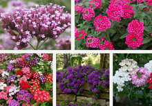 Big sale Verbena seed color, blending beautiful rainbow cherry kinds of series,flower seeds - 100 particles