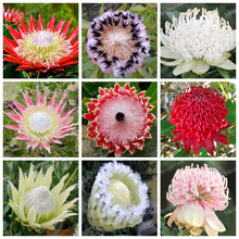 50 Seeds/Pack Fresh Rare Protea Cynaroides Seeds Easy Planting Rare Bonsai Flower Seed Variety Complete (Mixed Color)