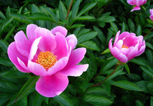 3 Packs Of Herbaceous Peony Seed / 1 Pack 6 Seeds Paeony Paeonia Lactiflora Flower Garden Seeds A155