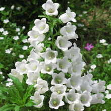 100pcs flower campanula seeds,multicolor,perennial flowers seeds,best plants for mini Garden