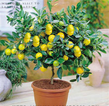 2017 Real Promotion 20pcs Garden Plants With Instructions Bonsai Lemon Tree Seeds High Survival Rate Fruit For Home Backyard