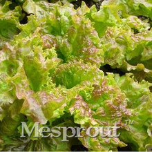 100PCS Lettuce Seeds Good Taste , Easy to Grow, Great Salad Choice ,DIY Home Garden Seeds Vegetable(China)