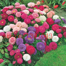 200 aster seeds chinese Chrysanthemum Callistephus Chinensis - Powder Puff Mix flower seeds for home garden planting(China)