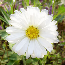 120 pcs White Beautiful Callistephus Chinensis Flower Seeds Balcony Potted Bonsai Plant seeds Aster Seed
