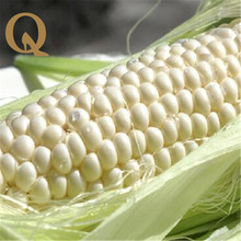 2017 New arrival  the most sweet corn seed white corn seed is very sweet home outdoor planting delicious health free shipping