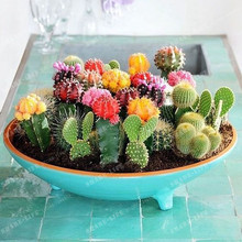 Multifarious Ornamental Plants 100 Mixed Cactus Seeds attractive impressive MARSEED 100%NATURAL home & garden Bonsai plants Seed