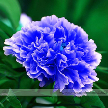 1 Professional Pack, 5 Seeds / Pack, Double Light Blue Tree Peony Seeds, 'Noble' Rare Peony Tree Plant #NF524