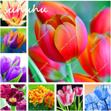 1000Pcs Tulip Seeds,Tulip Agesneriana,Aromatic Flower Seeds Potted Plants Most Beautiful Colorful Tulip Plants Perennial Garden(China)