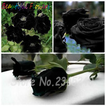 Black Rose Seeds China Rare Amazingly Beautiful Black Rose Popular garden flower 100 Pcs Perennial Flower Seeds Indoor Bonsai(China)