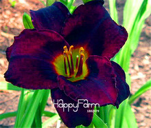 Lowest Price! 100 Pcs/Bag Black Daylily Flowers Seed, potted bonsai for garden