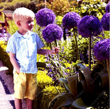 100pcs/bag giant Allium giganteum onion seeds beautiful flower seeds plant garden The grass rate 95% rare flower for children(China)