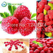 Free Shipping 2000+ Red GIANT RASPBERRY Seeds Rasp Berry Seed Super Big Fruit Seed StrawBerry Seeds