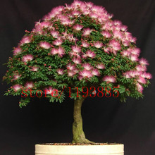 20 pcs bonsai Albizia Flower seeds called Mimosa Silk Tree ,seeds for flower potted plants very rare seeds for garden DIY