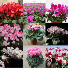 Promotions! Free Shipping Seasons perennial flower cyclamen seeds,Flowering Plants Indoor Balcony Bonsai- 10 seeds / pack
