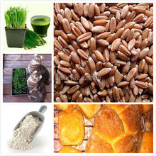 1000 Wheat Seeds Hard Red Winter Wheat Seeds,Cat grass, Heirloom,Untreated ,Organic & Versatile Seeds