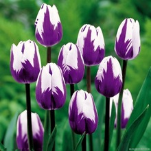 [Purple fringe tulip bulbs tulip flower] flower seeds can be bonsai hydroponic office-10PC/ package