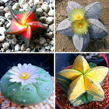 200pcs/bag Five-pointed star meaty seeds radiation protection succulent seeds Imported cactus bonsai  plant  pot seed for home