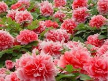 """Flower king"" Peony Rare red rose seed seedlings, professional, 5 seed packet/package, light fragantes garden"