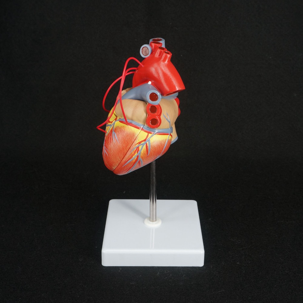 Scientific Heart with Bypass Life Size Anatomical Model Anatomy <br>