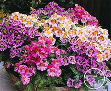 100 Pieces/Bag Sale!Heirloom Butterfly Orchid Seeds easy to grow,potted flowers for home garden Flower Seeds(China)
