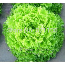 1000 Giant America  Fast growing Lettuce  , nutritious , delicious , low maintance,  healthy Non Gmo seeds, free shipping