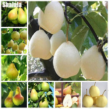 Top Quality Rare Sweet Pear Fruit Seed Bonsai Tree Seed Home Garden Ornamental Funny Fruit Can Edible 20 Pcs Planting Season(China)