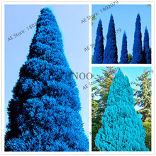 New Rare Blue Cypress Trees Platycladus Orientalis Oriental Arborvitae Seeds Conifer seeds,easy to grow.(China)