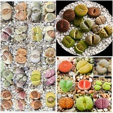 200 pcs Mix Lithops Seeds Living Stones Succulent Cactus Organic Garden Bulk Seed,bonsai seeds for indoor succulent plants