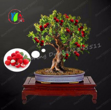 5pcs Lychee Subtropical Seasonal Fruit Fresh Seeds litchi DIY Garden Fruti Bonsai Rare Sweet Free shipping